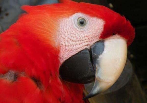 hellroter-ara-costa-rica