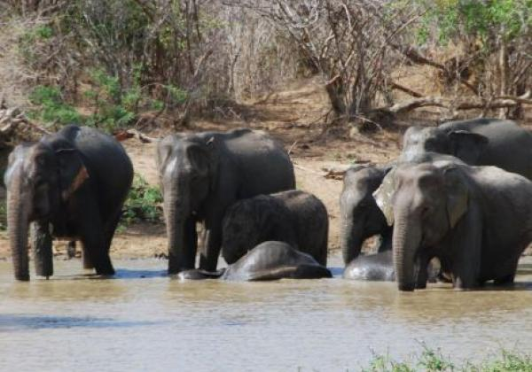udawalawe---elephants