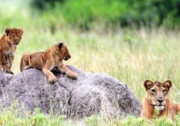 tag-4---löwen-tracking-im-queen-elizabeth-nationalpark