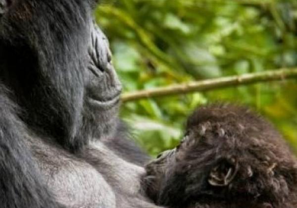 tag-7---gorilla-im-bwindi-forest
