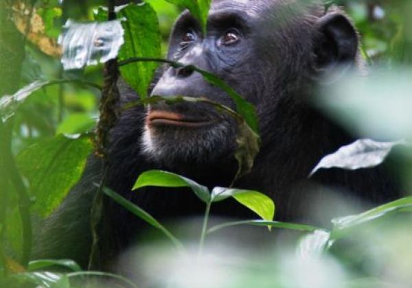 tag-3---schimpansen-tracking-im-kibale-forest-nationalpark.jpg
