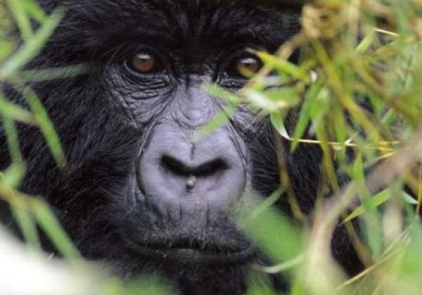 gorillas-rwanda-9