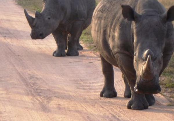 rhinos-sabi-sand