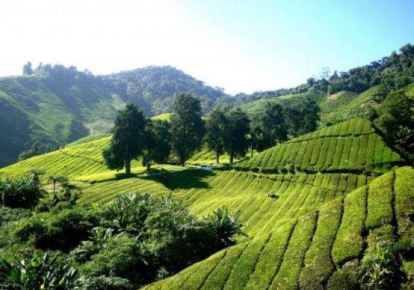 cameron-highlands---tea-plantation