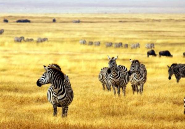 tanzania---serengeti---zebra-yellow