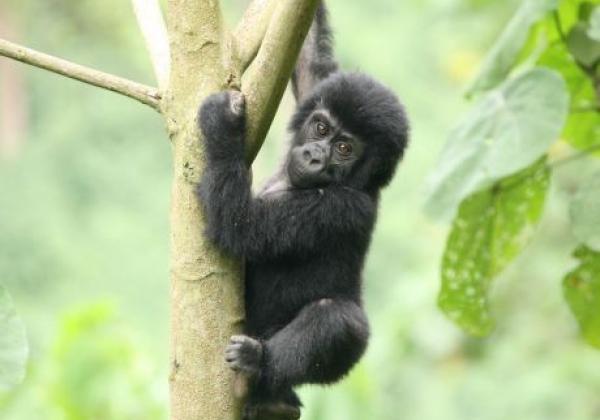 uganda---gorilla---baby