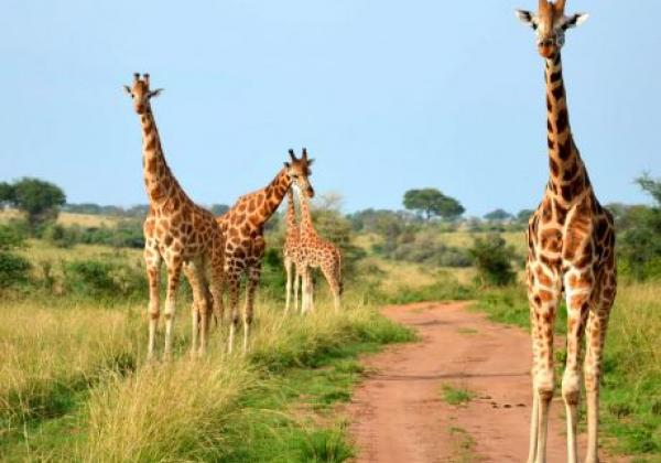 uganda---murchison---giraffe-2