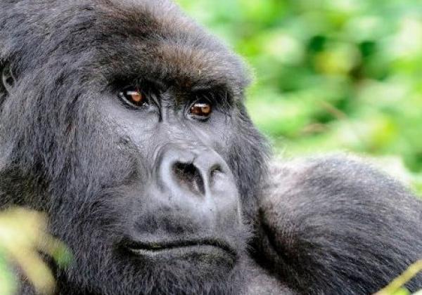 iyt---uganda---gorilla