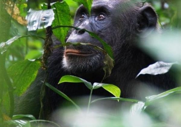 iyt---uganda---chimps-2.jpg