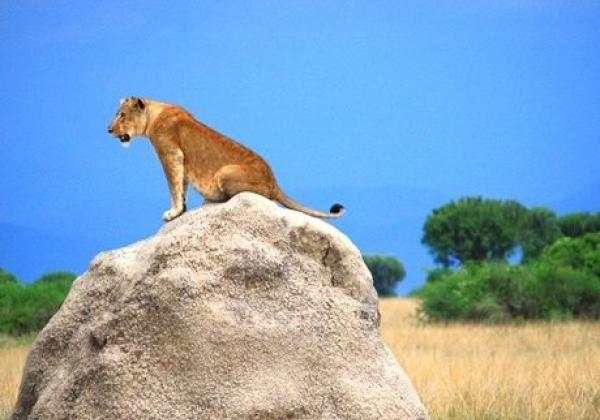 iyt---uganda---qenp---lion.jpg