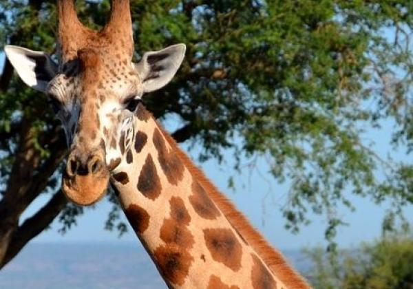 iyt---uganda---murchison---giraffe-1
