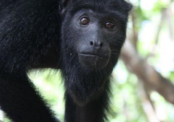 Affe in Brasilien