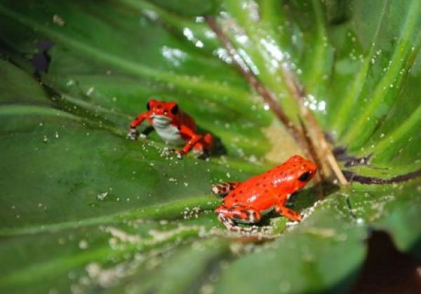 roter-frosch-panama