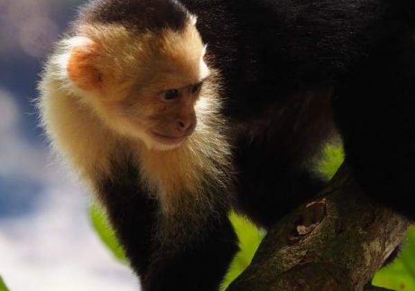 white-faced-monkey.jpg