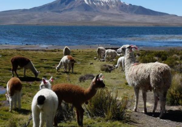 chungara+lamas