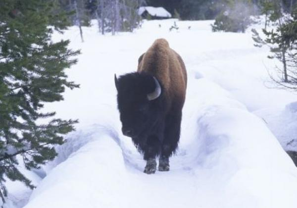 bison-on-the-path