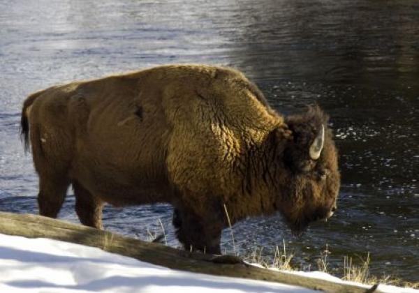 bison-at-madison-2