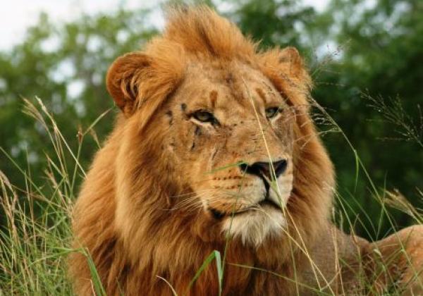 majestätischer-löwe
