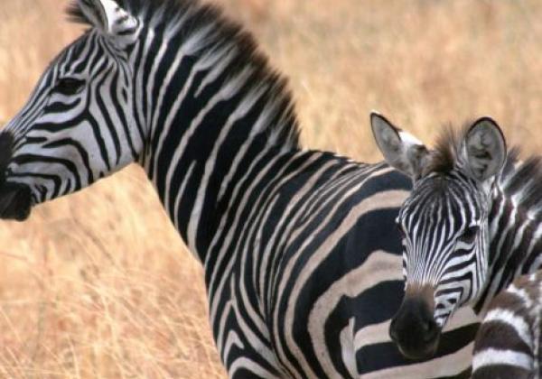 zebras-in-südafrika