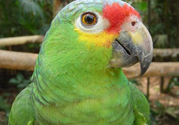 r134-belize-zoo-papagei-3