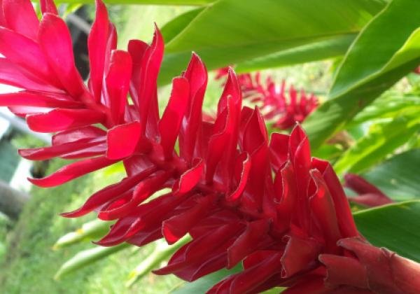 sih14n-ginger-flower
