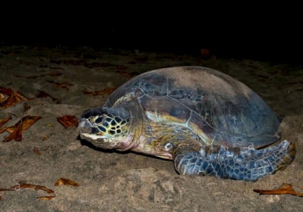 rekawa-turtle