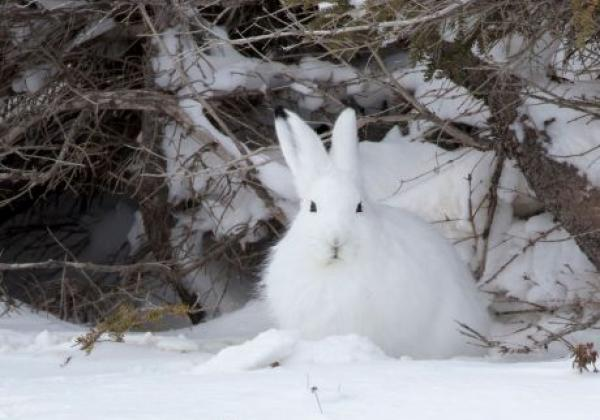 arctic-hare-on-tour