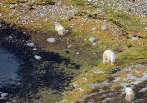 3-polar-bears-from-helicopter