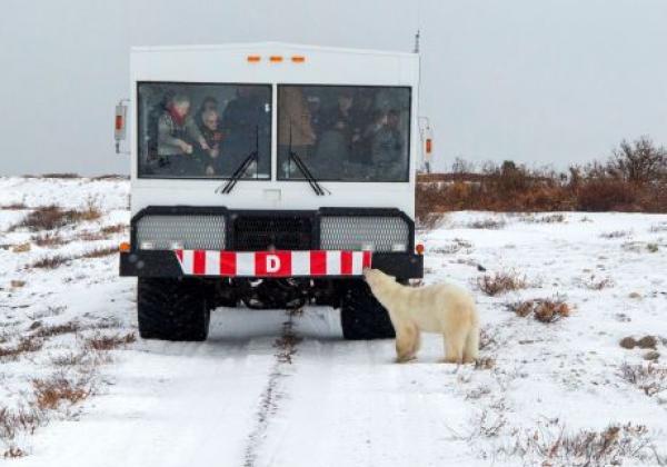 polar-bear-at-front-of-arctic-crawler™