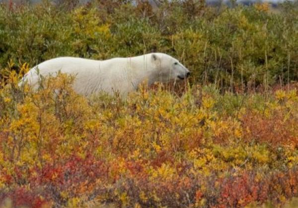 polar-bear-from-tundra-vehicle