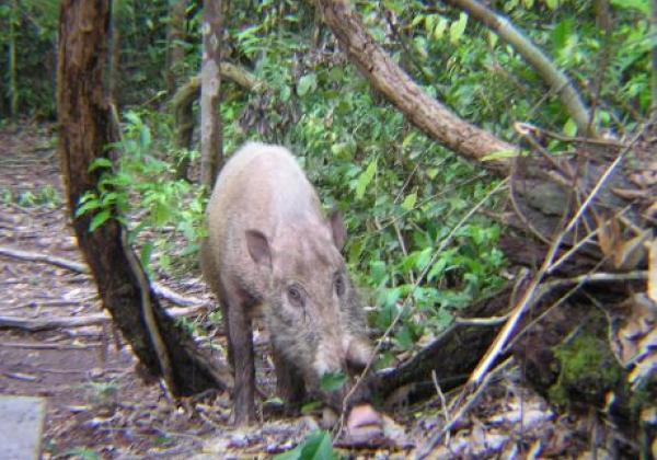 borneo---wild-boar