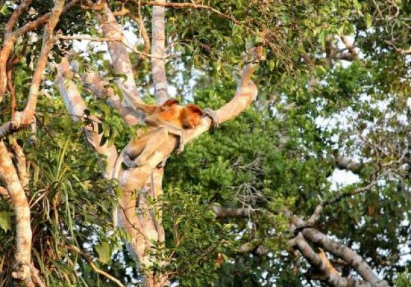 borneo---proboscis-monkeys