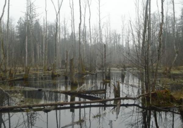 artek.-orzechowski---urwald,-erlenbruchwald.jpg