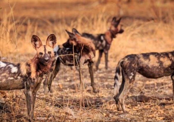 wild-dog-south-luangwa