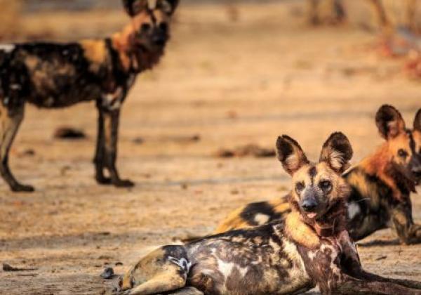 wildlife-south-luangwa