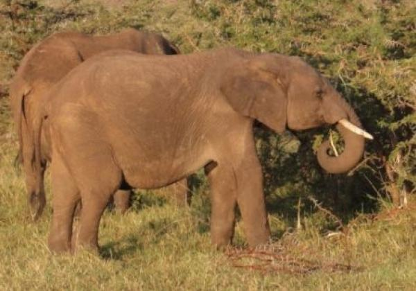 elefanten-fressen