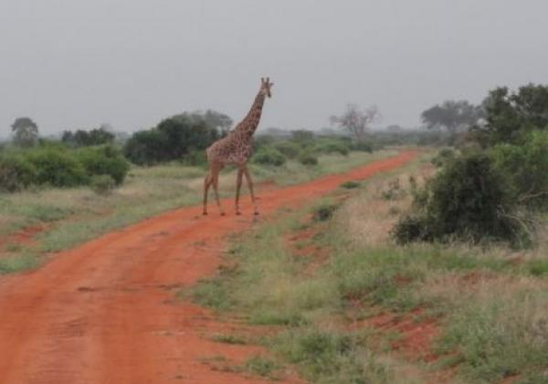 giraffe-überquert-straße