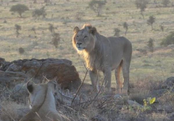 löwen-in-kenia
