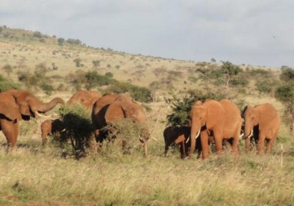 mehrere-elefanten