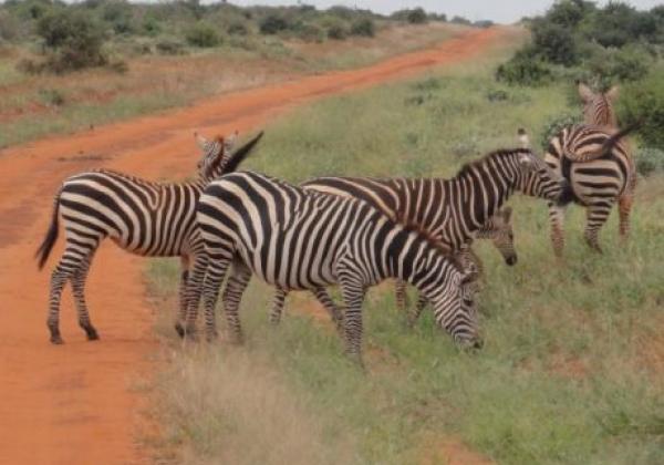 zebras-am-straßenrand
