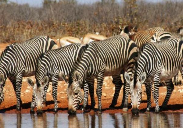 zebras-am-wasserloch
