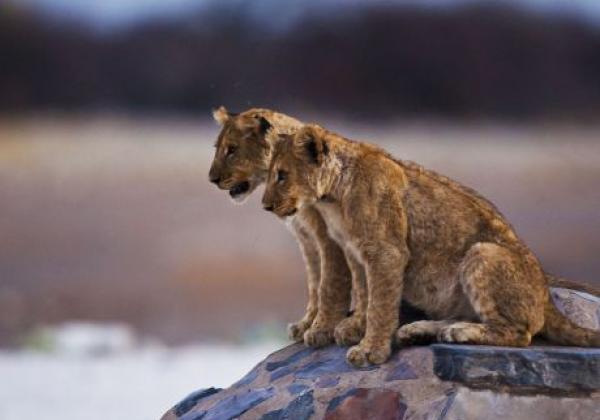 kleine-löwen