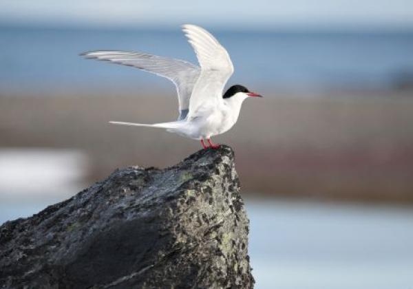 arctic-bird-(arctic-tern)