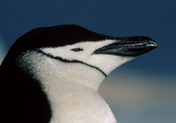 pinguin-schaut-in-die-antarktis.jpg