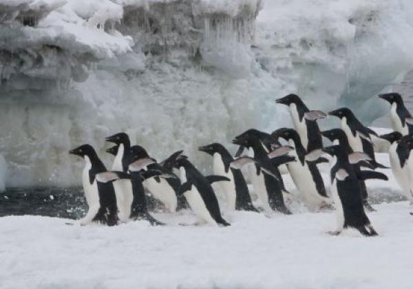 pinguine-springen-ins-wasser.jpg