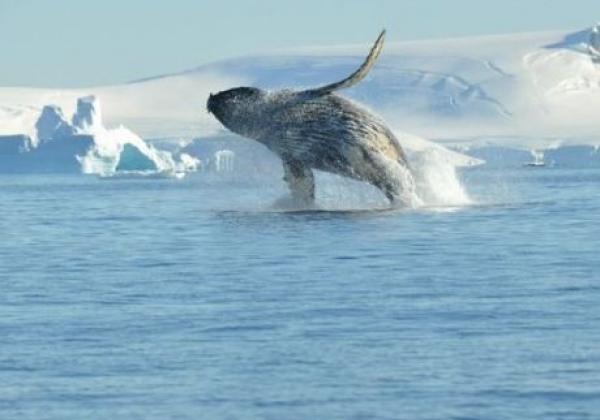 springender-wal-in-der-antarktis.jpg