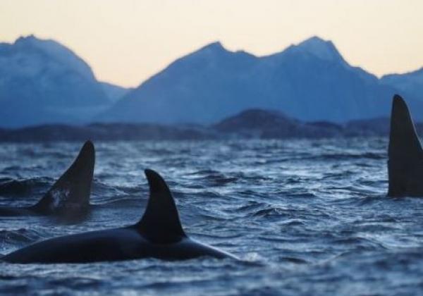 orcas-in-norwegen.jpg
