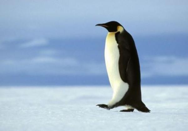pinguin-läuft.jpg