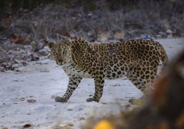 leopard-in-indien