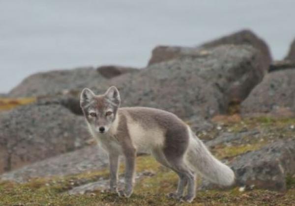 arktischer-fuchs-in-spitzbergen.jpg